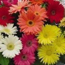 USA SELLER Gerbera Daisy Mix 30 seeds