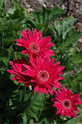 USA SELLER  Hot Pink Gerbera Daisy 10 seeds