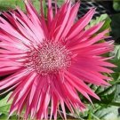 USA SELLER  Spider Salmon Gerbera Daisy 10 seeds