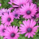 USA SELLER  Lavender Gerbera Daisy 10 seeds