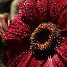 USA SELLER Burgundy Gerbera Daisy 10 seeds