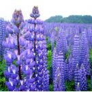 USA SELLER Common Blue Lupine 50 seeds