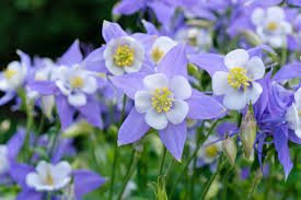 USA SELLER Rocky Mountian Blue Violet Columbine 25 seeds