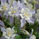 USA SELLER Songbird pale Blue-white Columbine 25 seeds