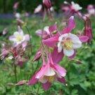 USA SELLER Songbird Robin Pink-White Columbine 25 seeds