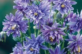 USA SELLER Barlow Christa Columbine 10 seeds