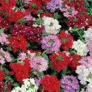 USA Seller Verbena Florist Mix 25 seeds