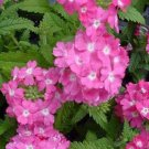 USA SELLER Nana Compacta Rose Verbena 25 seeds