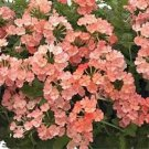 USA SELLER Apricot Verbena 50 seeds