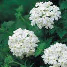 USA SELLER White Verbena 25 seeds
