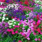USA SELLER Dwarf Verbena Mix 25 seeds