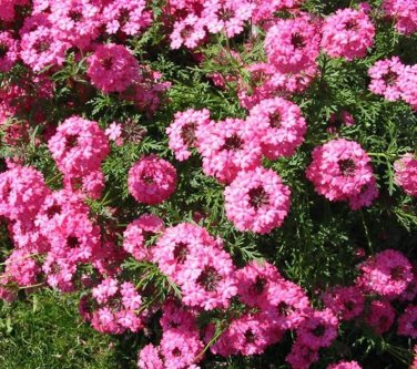 USA SELLER  Rozovaya Pink Verbena 25 seeds