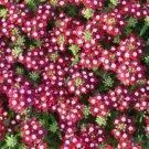 USA SELLER  Ox-Eye Crimson Verbena 25 seeds