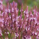 USA SELLER  Pink Spires Verbena 25 seeds