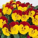 USA SELLER Red BiColor Pansy 10 seeds seeds