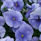 USA SELLER Light Blue Pansy 10 seeds seeds