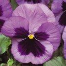 USA SELLER Matrix Ocean Pansy 10 seeds seeds