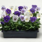 USA SELLER Panola Baby Boy Mix Pansy 10 seeds seeds