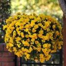 USA SELLER Golden Wave Pansy 10 seeds seeds