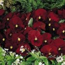 USA SELLER Inspire Ruby Pansy 10 seeds seeds