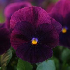 USA SELLERCool Wave Purple Pansy 10 seeds seeds
