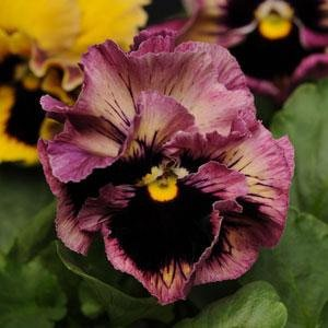 USA SELLER Frizzle Passion Fruit Pansy 10 seeds seeds