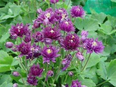 USA SELLER Aquilegia (Columbine) vulgaris Clementine Purple Deep 10 seeds