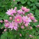 USA SELLERAquilegia (Columbine) vulgaris Clementine Rose  10 seeds