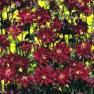 USA SELLER Aquilegia (Columbine) vulgaris plena Ruby Port 10 seeds