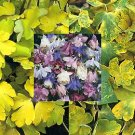 USA SELLER Aquilegia (Columbine) vulgaris Woodside Variegata 10 seeds