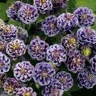 USA SELLER Aquilegia (Columbine) Winky Double Dark Blue-White 10 seeds