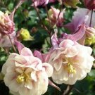 USA SELLER Aquilegia (Columbine) Winky Double Rose-White 10 seeds