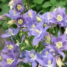 USA SELLER Aquilegia (Columbine) Winky Single Early Sky Blue 10 seeds