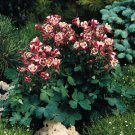 USA SELLER Aquilegia (Columbine) Winky Single Red-White 10 seeds
