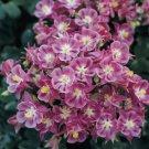 USA SELLER Aquilegia (Columbine) Winky Single Rose-Rose 10 seeds
