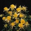 USA SELLER Aquilegia (Columbine) x caerulea Sunshine  10 seeds