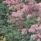 USA SELLER French Rue Thalictrum aquilegifolium  10 seeds