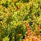 USA SELLER Blazeaway Heather (Calluna Vulgaris) 25  seeds