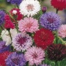 "USA SELLER Cornflower ""Batchelors Buttons"" Mix 100  seeds"