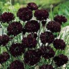 "USA SELLER Cornflower ""Batchelors Buttons"" Black 100  seeds"