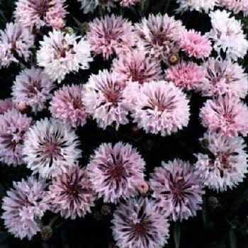 """USA SELLER Cornflower """"Batchelors Buttons"""" Pink 100  seeds"""