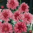 """USA SELLER Cornflower """"Batchelors Buttons"""" Red 100  seeds"""