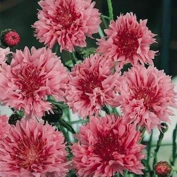 "USA SELLER Cornflower ""Batchelors Buttons"" Red 100  seeds"