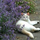 USA SELLER Purple Cat Mint 50 seeds