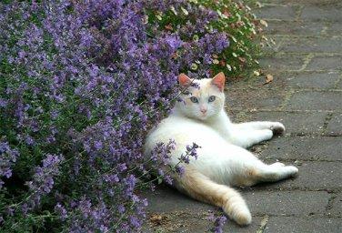 USA SELLER Purple Cat Mint 50 seeds