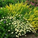 USA SELLER Yellow Cat Mint 50 seeds