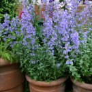 USA SELLER Lavender Cat Mint 50 seeds
