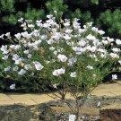 USA SELLER Nierembergia  White Robe 50 seeds