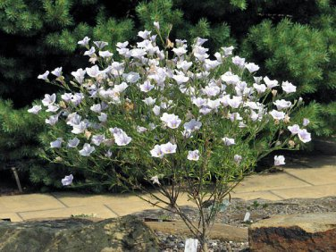 USA SELLER Nierembergia  White Robe 50 seeds