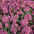 USA SELLER prairie Aster 50 seeds